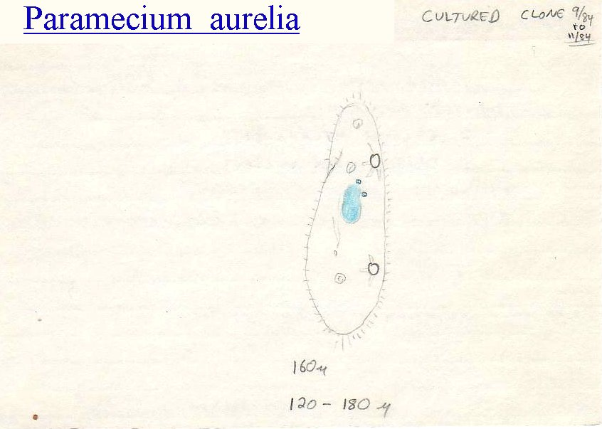 carrying capacity and paramecium aurelia population Biology chapter 5 section 1 review if a population grows larger than the carrying capacity of the graph i shows the curve for a culture of paramecium aurelia.